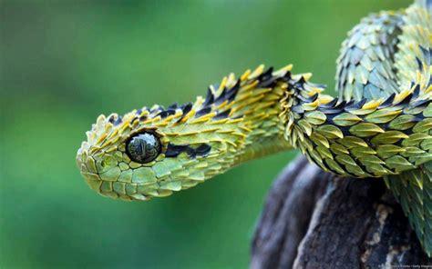 Hairy Viper