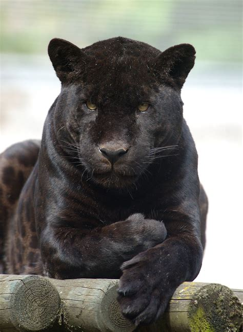 panther (The)